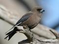 Dusky Wood swallow