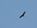 Wedge-tailed Eagle1